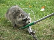 Allstate Animal Control, trapping raccoons with snare pole