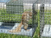 Allstate Animal Control--squirrel in cage