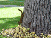 Allstate Animal Control-- squirrel running down tree