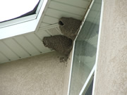 Allstate Animal Control, cliff swallow nests on soffit