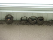 Allstate Animal Control, swallow mud nests