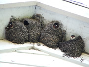 Allstate Animal Control, baby swallow chicks in nest