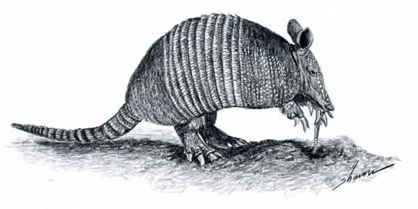 Armadillo eatin on a lawn, drawing