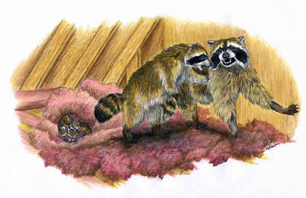 Family of raccoons in an attic drawing