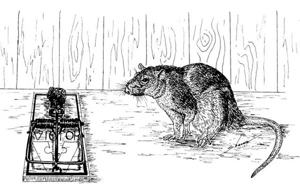 Rat glaring at a trap, drawing