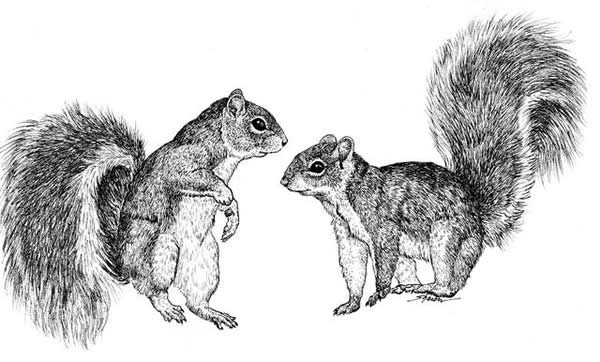 Two squirrels chatting to each other, drawing