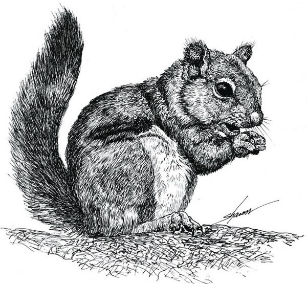 Squirrel eating nuts, drawing