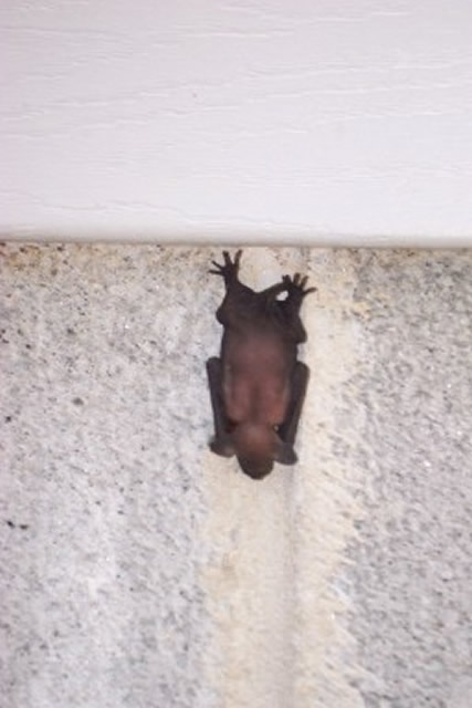 Allstate Animal Control, bat hanging on wall