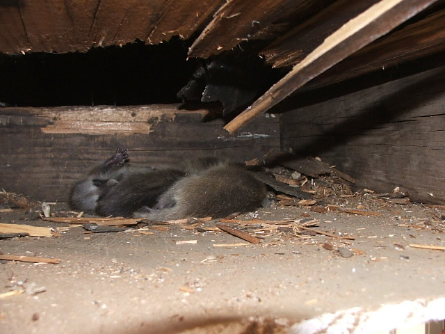 Allstate Animal Control removes dead raccoons, such as these, from crawlspaces, chimneys, walls and attics.