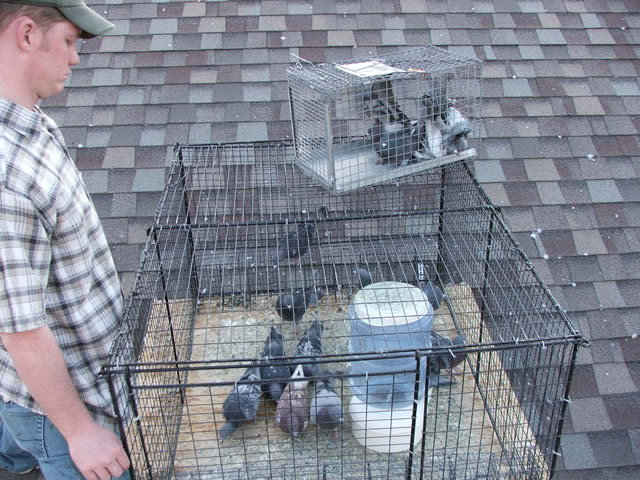 Allstate Animal Control, pigeon trapping