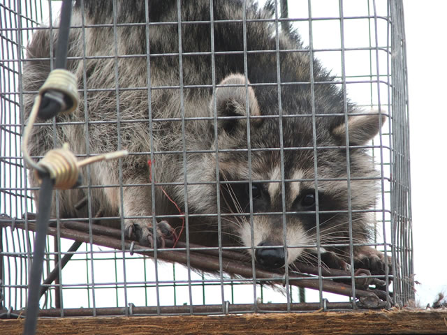Distemper Allstate Animal Control Offers Raccoon Pest Control Global News Raccoon Removal Trapping Raccoons Allstate Animal Control