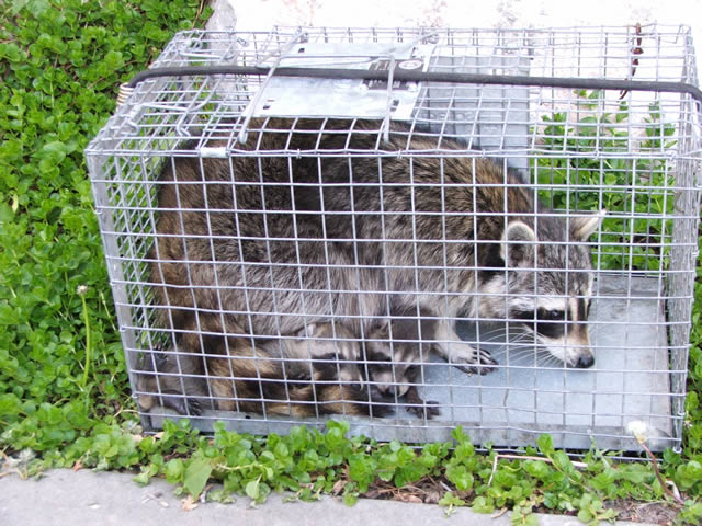 Image of: Exterminator Allstate Animal Control Raccoons In Cage Garden State Wildlife Control Toledo Animal Control Lucas County Oh Wildlife Critters Removal
