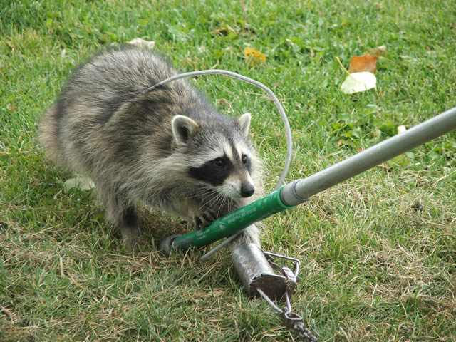 Image of: Trapped Allstate Animal Control Tech Catching Raccoon With Snare Pole Allstate Animal Control Raccoon Removal Trapping Raccoons Allstate Animal Control