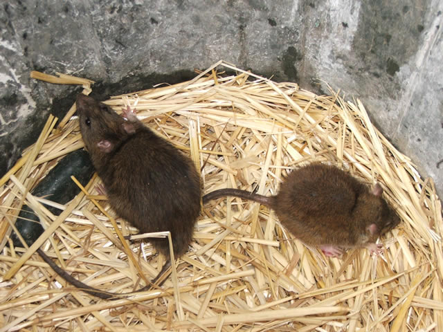 How To Get Rid Of Wild Rats Sewer Rats Rat Trapping