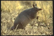 Allstate Animal Control photo armadillo on hind legs