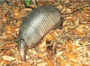 Allstate Animal Control photo armadillo