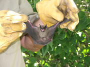 Allstate Animal Control, bat held in gloved hands