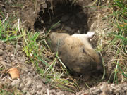 dead gopher in gopher hole