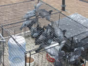 Allstate Animal Control photo pigeon removal