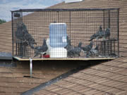 Allstate Animal Control, pigeons in roof trap