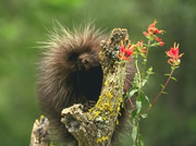 Allstate Animal Control photo tree porcupine