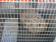 Allstate Animal Control photo caged bunny rabbit