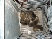 Allstate Animal Control captures baby raccoons