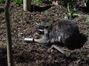 Allstate Animal Control offers raccoon control