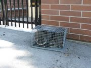 Allstate Animal Control uses raccoon traps, not poisons