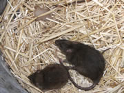 Rat Control How To Get Rid Of Rats Rat Trapping