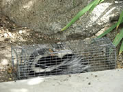Live skunk in an Allstate Animal Control cage trap