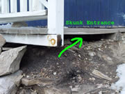 Small skunk hole entrance beneath a porch
