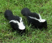 Allstate Animal Control technicians can get rid of skunks