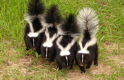 Allstate Animal Control photo four skunks