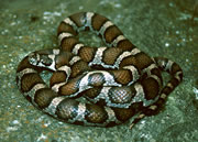Allstate Animal Control photo milksnake