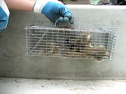 Allstate Animal Control captured squirrel